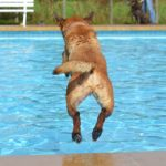 dog jumping into swimming pool