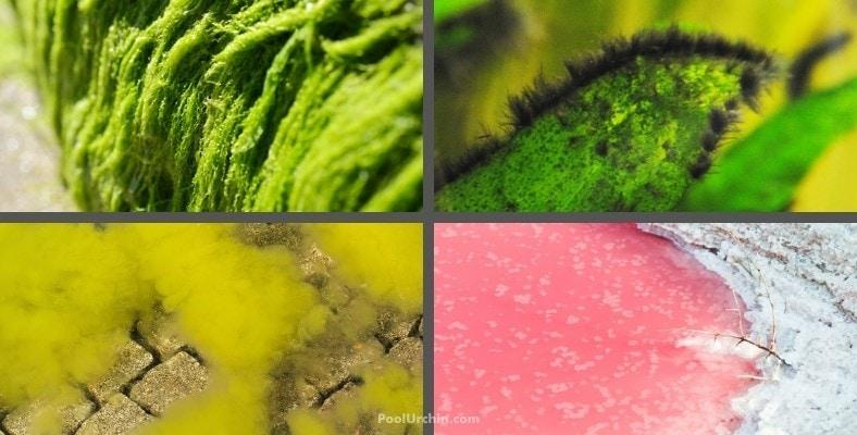types of pool algae